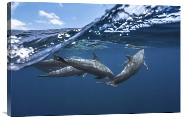 Dolphin Art: Dolphin Photo Print