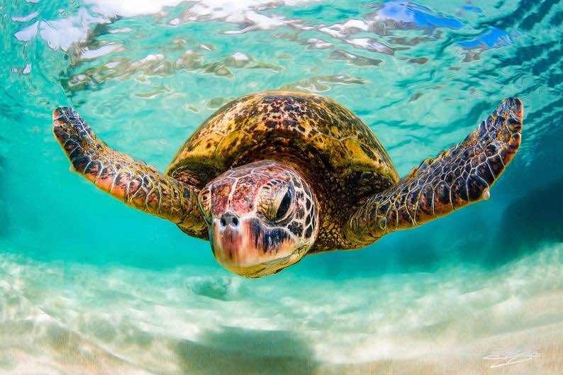 Hawaiian Green Sea Turtle Fine Art Print